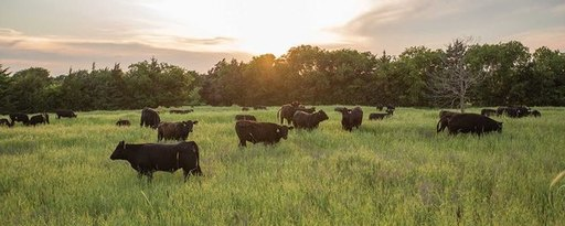 cattle grazing 1.jpg